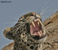 Leopards of Samburu National Park contains: 20 photos