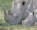 Lake Nakuru, with its White Rhinos contains: 10 photos