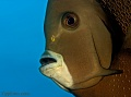 Angelfish,  Butterflyfish, Bannerfish contains: 22 photos