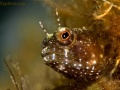 Gobbies, Blennies, Jawfish, Basslets, contains: 21 photos